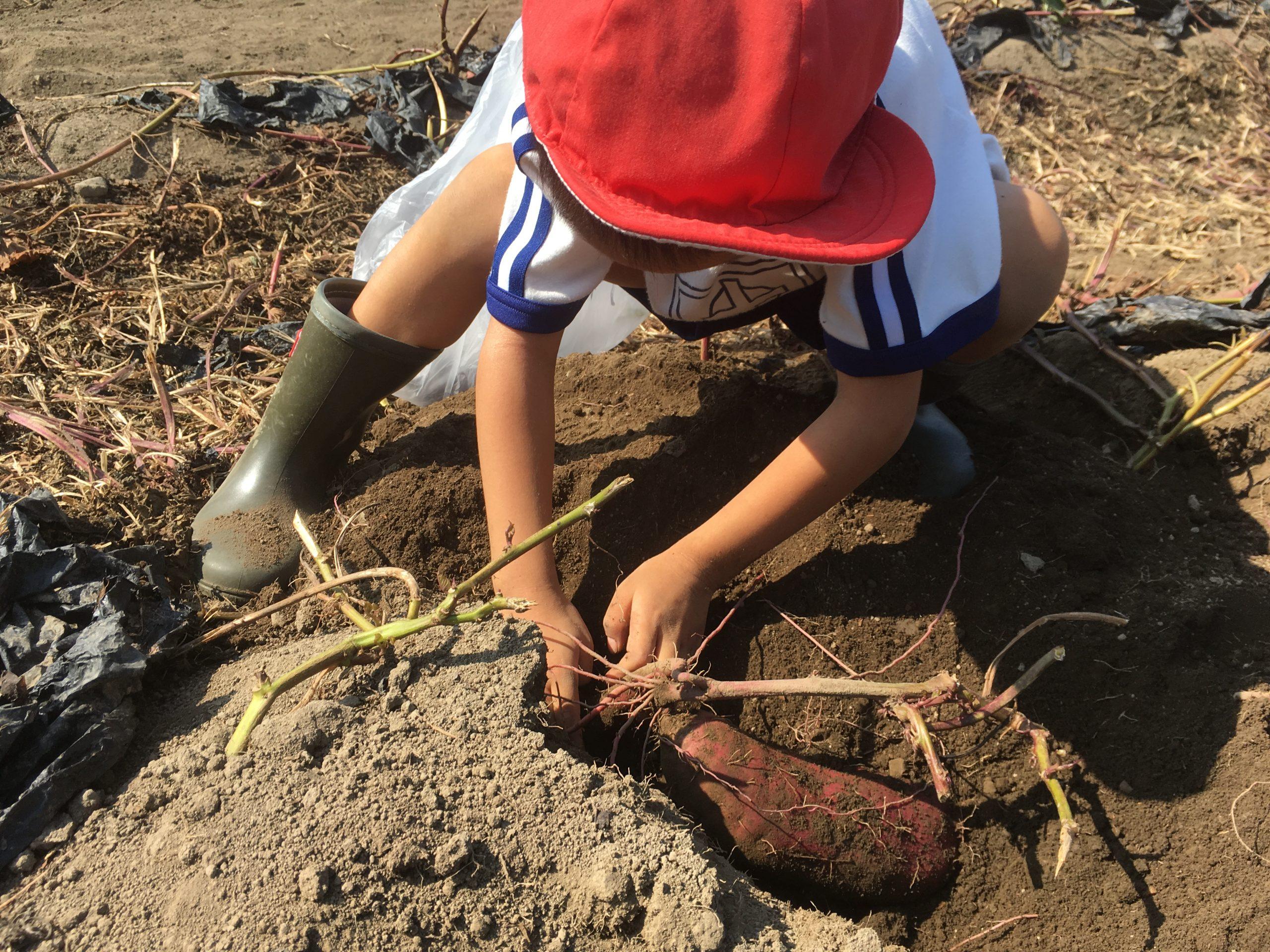 サツマイモの栽培体験の様子の写真