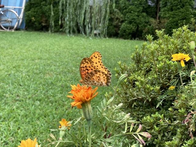 ハウス庭の蝶