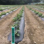 サツマイモ畑の草取り